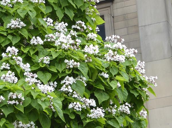 27 Neston Indian Bean blossom