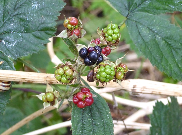 27 Neston blackberries
