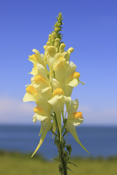 MNA Anglesey Breakwater Toadflax1