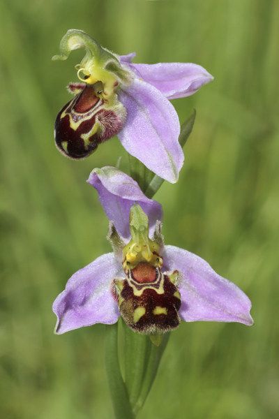MNA Great Orme Bee Orchid1
