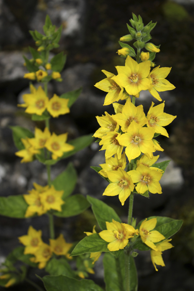 MNA Malham Yellow Loosestrife1