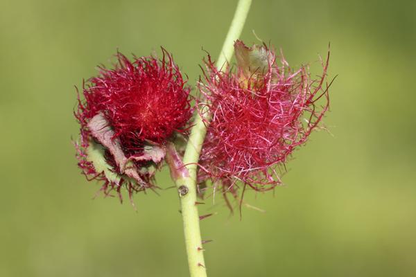 MNA Marford Robins Pincushion Gall1