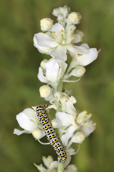 MNA Marford White Mullein Caterpillar1