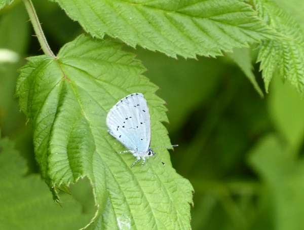 28 Maghull Holly Blue