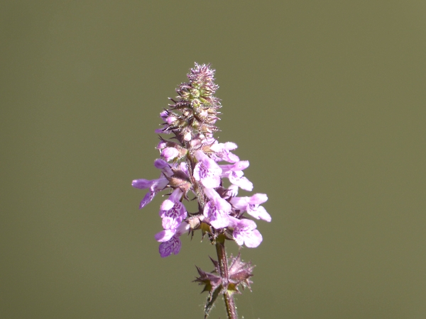 28 Maghull Marsh woundwort