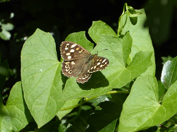 28 Maghull Speckled Wood