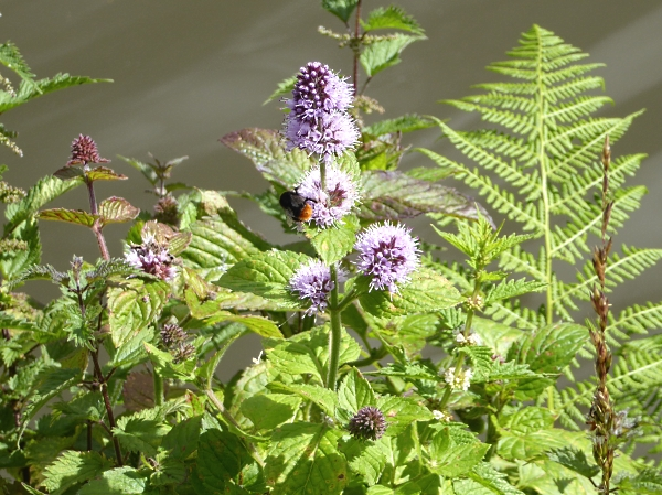 28 Maghull Water Mint