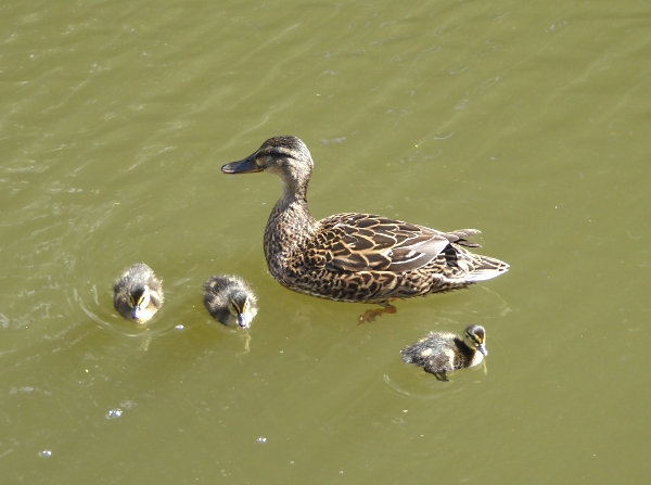 28 Maghull ducklings