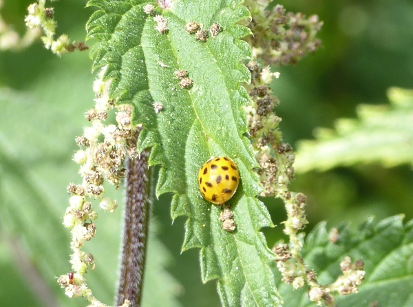 28 Maghull water ladybird