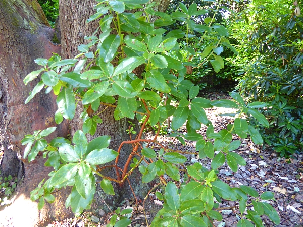 29 Royden Madrona foliage