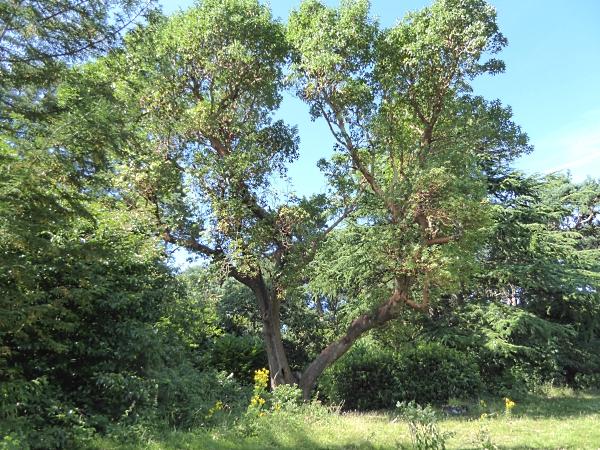 29 Royden Madrona tree