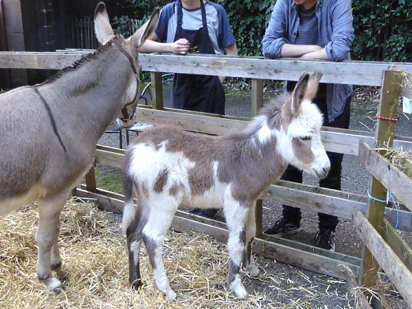 29 Royden donkey foal