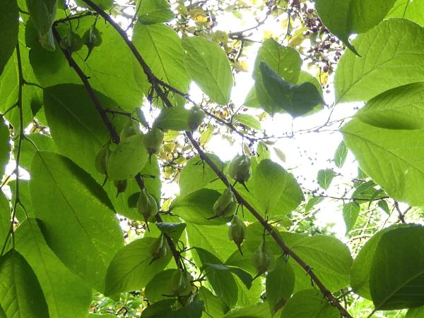 30 Calderstones Snowbell fruits