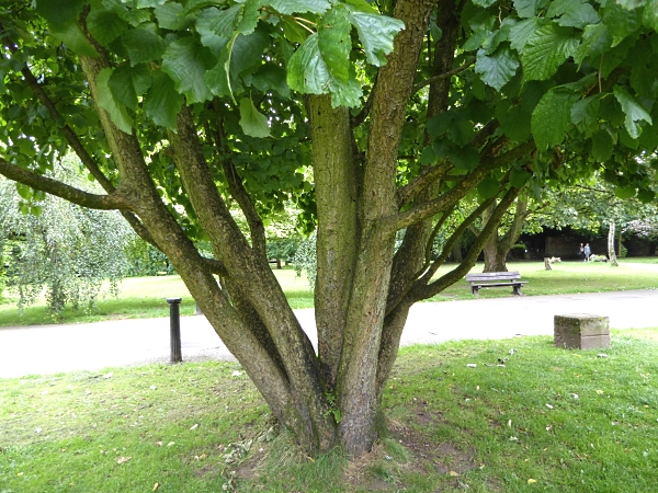 30 Calderstones Turkish Hazel trunk