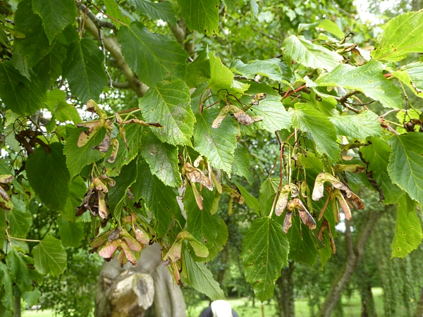 30 Calderstones lime leafed maple maybe