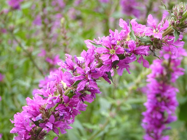 30 Calderstones purple loosestrife
