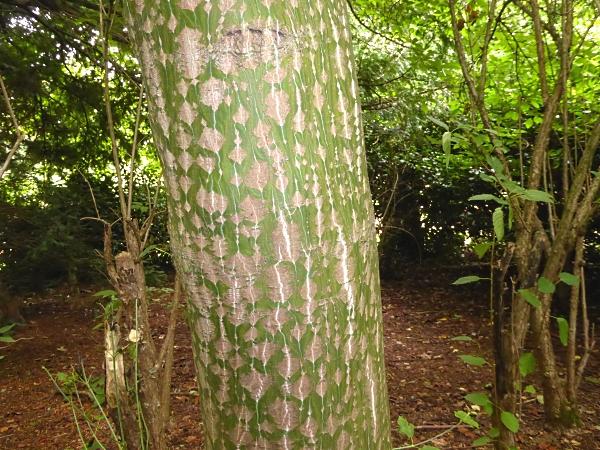 30 Calderstones snake bark trunk