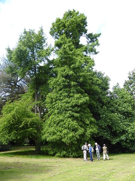 30 Calderstones swamp cypress