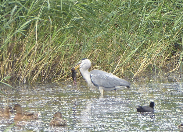 31 Blacktoft heron and vole