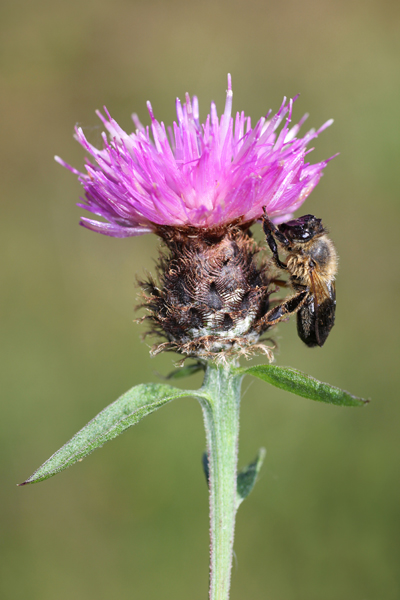 MNA Dibbinsdale 2016 Bee On Knapweed1