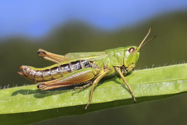 MNA Dibbinsdale 2016 Meadow Grasshopper1