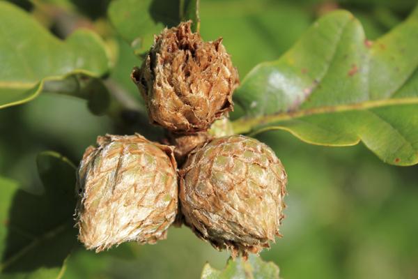MNA Dibbinsdale 2016 Oak Artichoke Galls