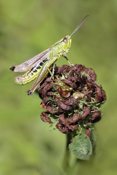 MNA Dibbinsdale Green Grasshopper1