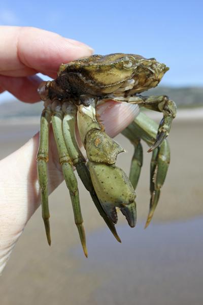MNA West Shore Green Shore Crab1