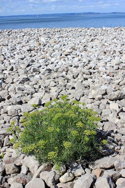 MNA West Shore Rock Samphire1
