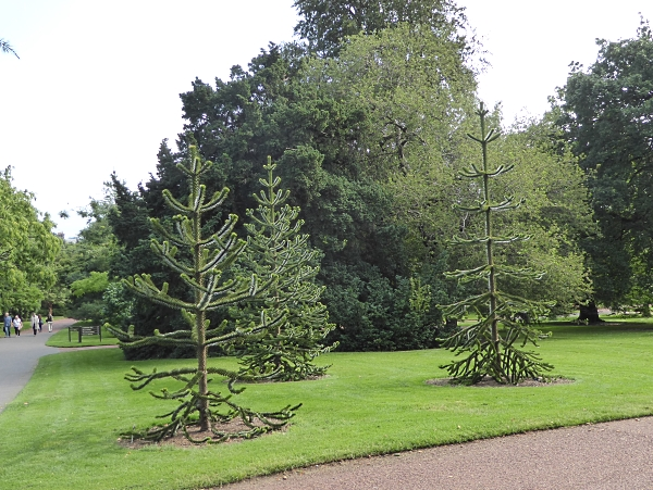 02 young monkey puzzles
