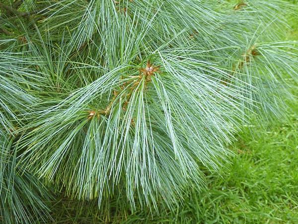 08 Bhutan Pine