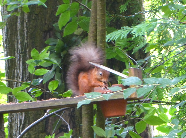 09 Red Squirrel