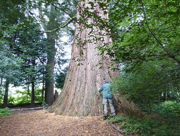 10 Champion Giant Redwood