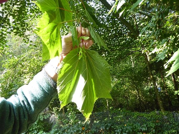11 Moosebark maple leaves