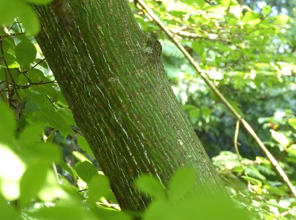 12 Moosebark maple bark