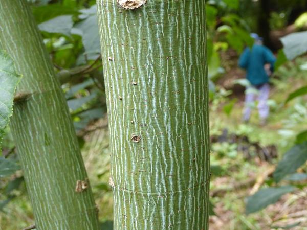 21 Pere David's maple bark