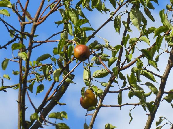 34 HOD golden pear