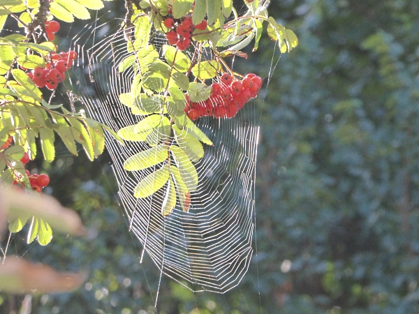 34 HOD spider web