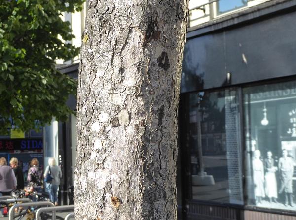 35 Biennial medlar bark