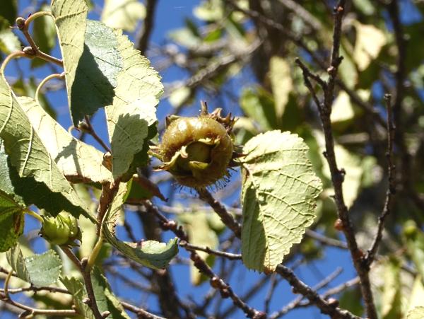 35 Biennial medlar fruit