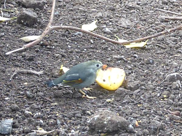 36-chester-pekin-robin