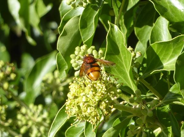 36-chester-hornet-mimic