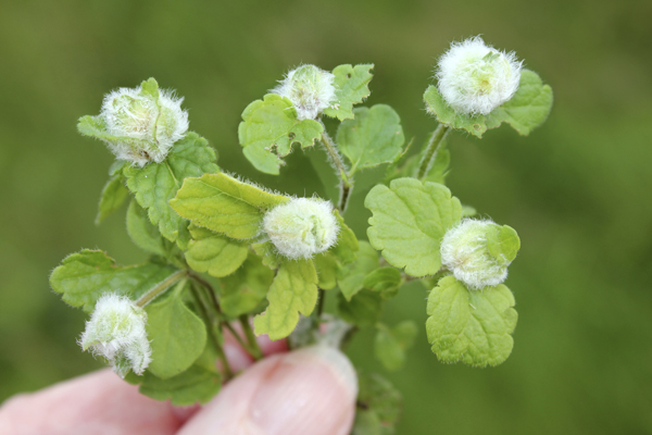 mna-germander-speedwell-galls1