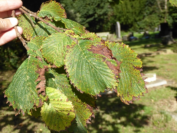 37-flaybrick-exeter-elm-leaves