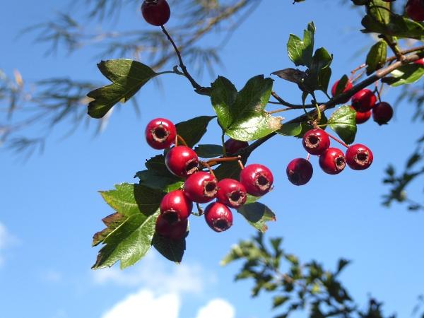 38-apple-hawthorn