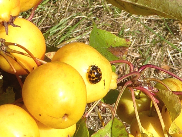 38-apple-ladybird-on-crab