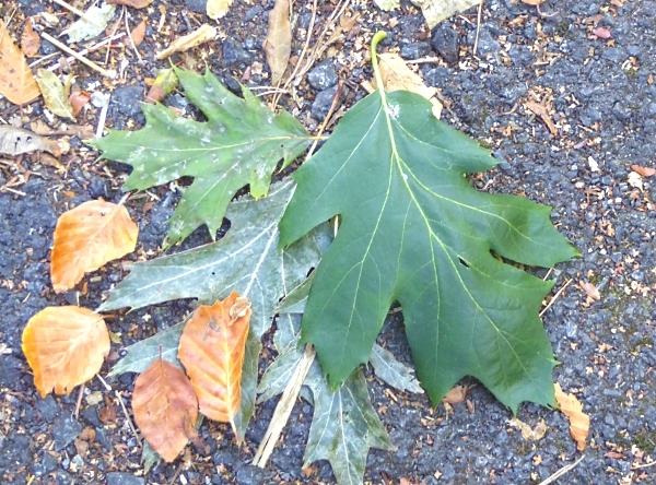 38-apple-red-oak-leaves