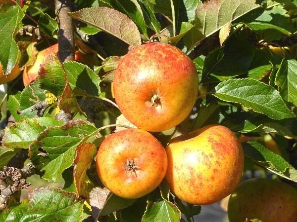 38-apples-three-apples