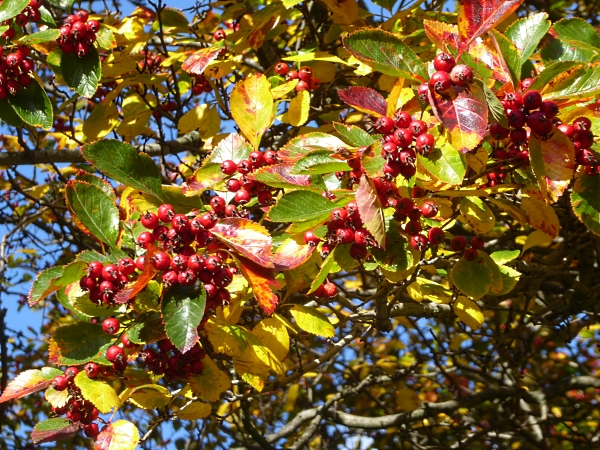 39-centre-thorn-leaves-and-berries