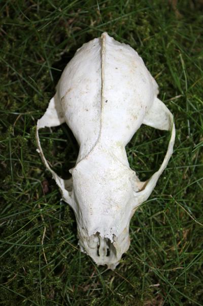 mna-cilcain-badger-skull1